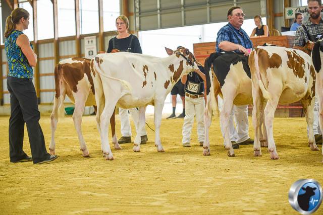 Spring calf-4586